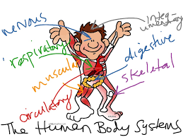 (Gr. 4) The effective interactions between human body systems contribute to health and survival
